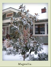 magnolia_ice.jpg