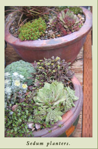 sedum_planters.jpg