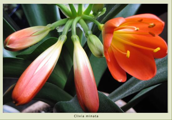 clivia_minata.jpg