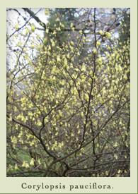 corylopsis_pauciflora.jpg