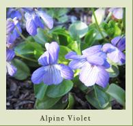 alpine_violet.jpg