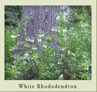 white_rhododendron.jpg
