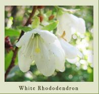 white_rhododendron_closeup.jpg