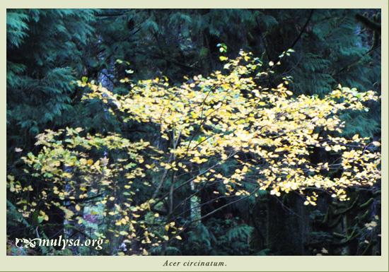 acer_circinatum.jpg