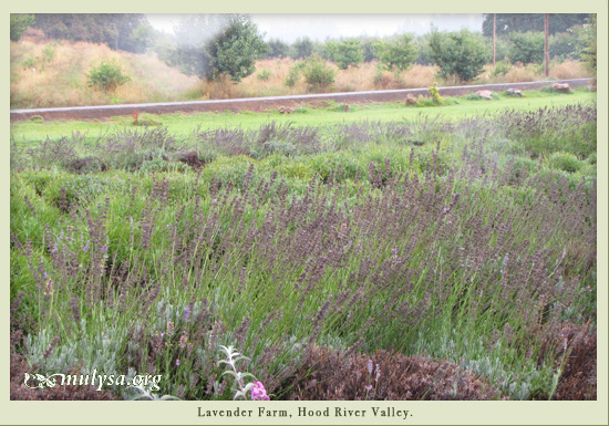 lavender_farm.jpg