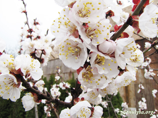 apricot_1.jpg